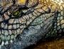 تمساح نيلي…